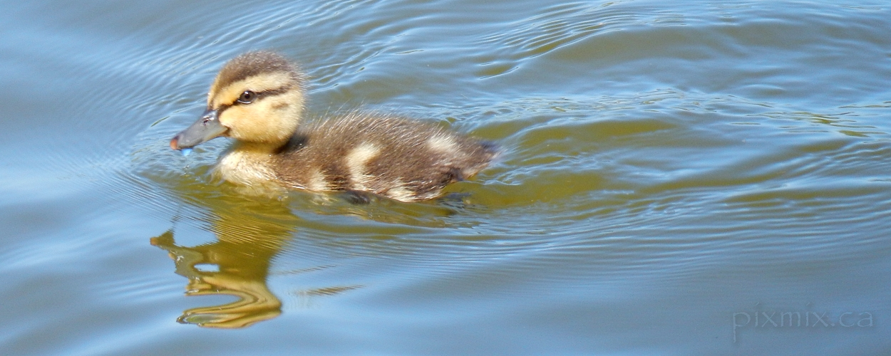 Mallard duckling @ Brydon Lagoon 2