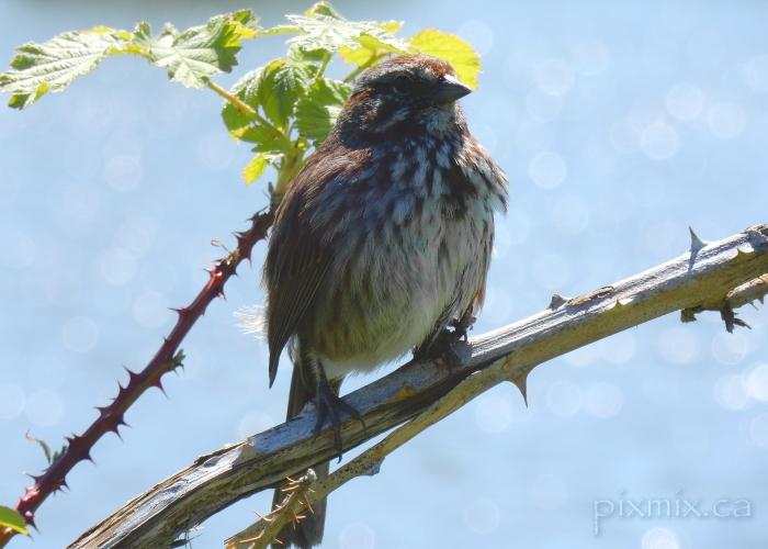 Song Sparrow @ Brydon Lagoon 2