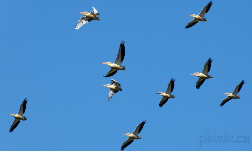 flock of pelicans near Creston