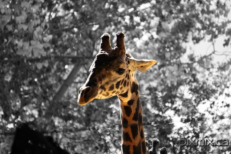 giraffe on B&W